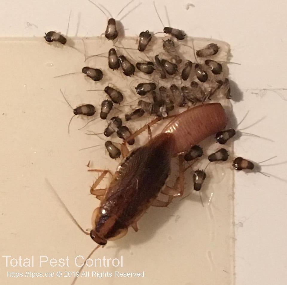 The Best Way To Kill Cockroaches Pest Control Services